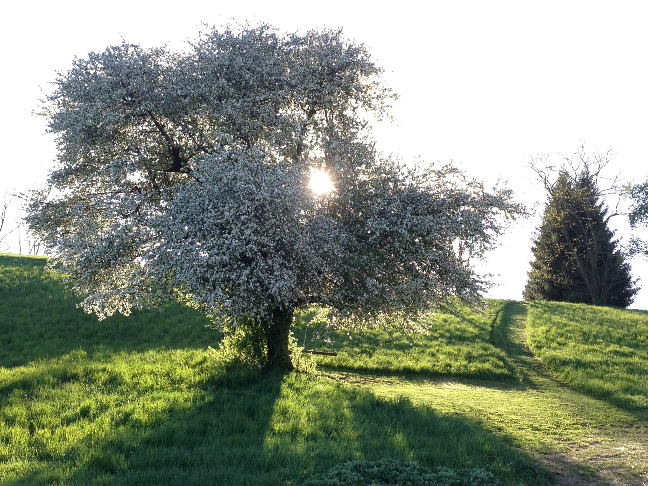 love this tree in the spring time