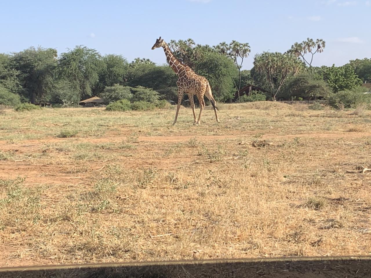 A reticulated giraffe in the Samburu National Reserve.