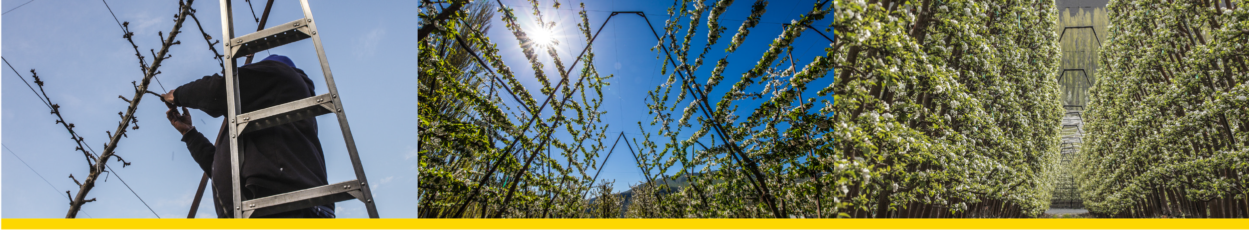 Our comprehensive trellis system drives growth into the fruit, not the tree. Perfect spacing and directional growth of tree limbs allow ideal light and air circulation to flow around developing fruit. Growth that usually ends up in unnecessary limb growth redirects into the fruit, capturing the nutrients that create our unmatched taste profile.
