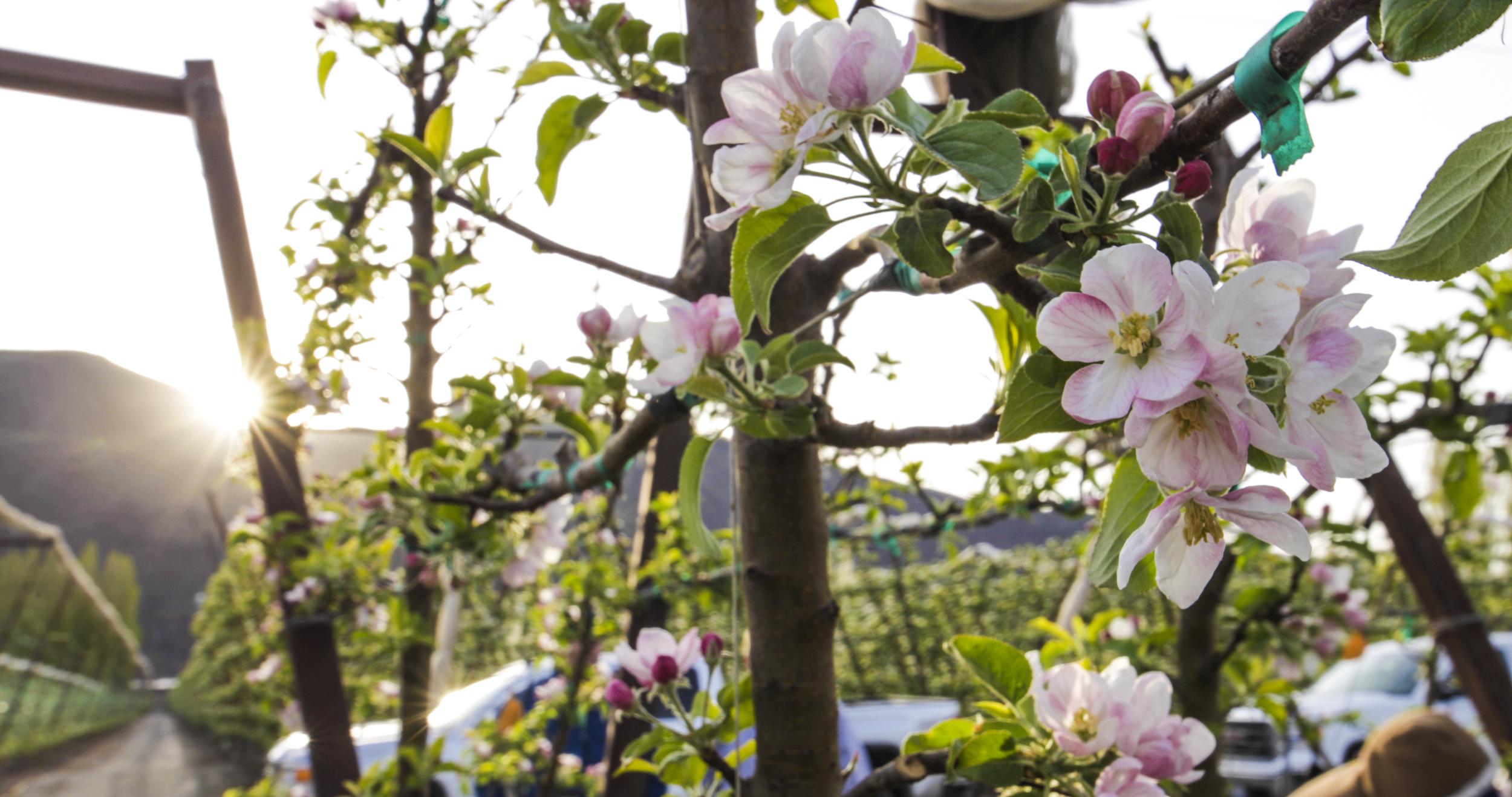 Auvil+Fruit+Apple+Blossoms-19.jpg