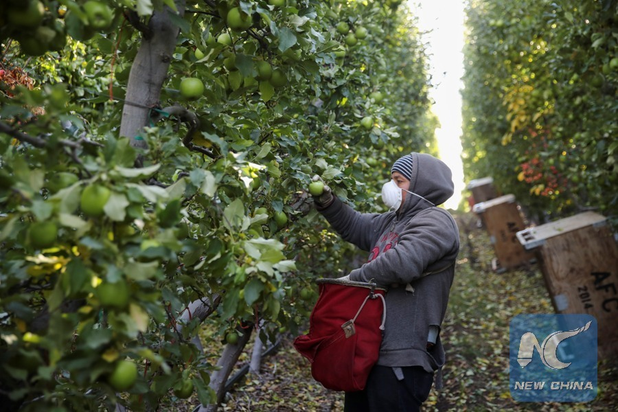 Apple Picker - Auvil Fruit Orchard | image credit: Xinhua |2017-11-08