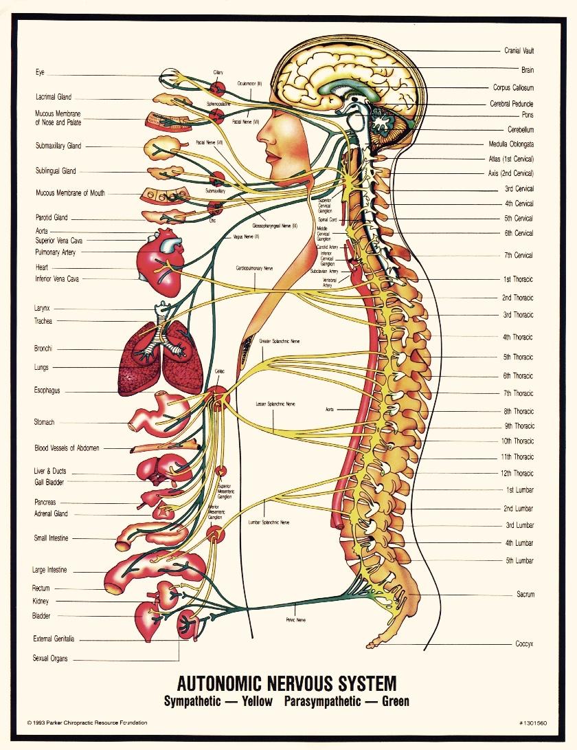 Anatomic Nervous system healer kopi.jpg