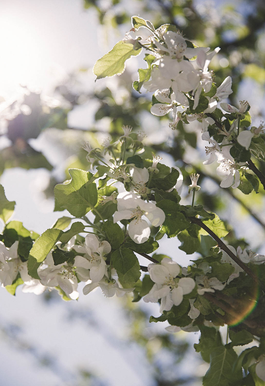 Apple blossom in Spring Foto Emily Dahl-1.jpg