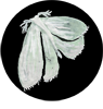 little moth for website.png