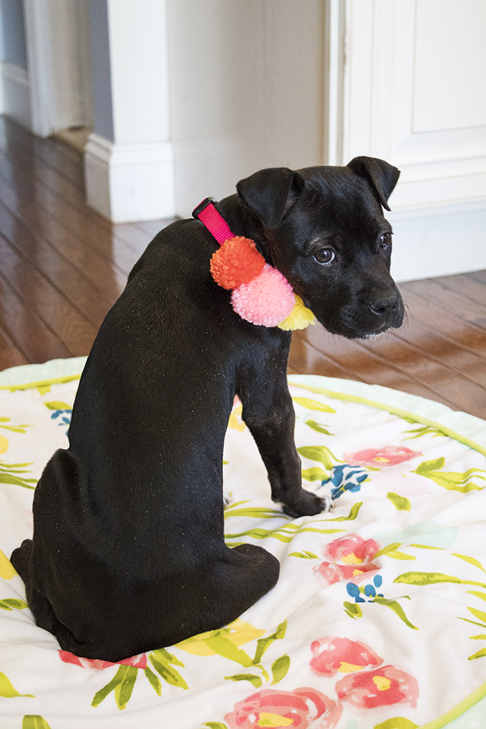 We added a new member to our family last week- a puppy! Learn my backstory about wanting a dog for over 20 years, plus details about her personality and her name. And, I've got a link to this awesome DIY pom pom collar! #dogmom #dogcrafts #pompomcrafts