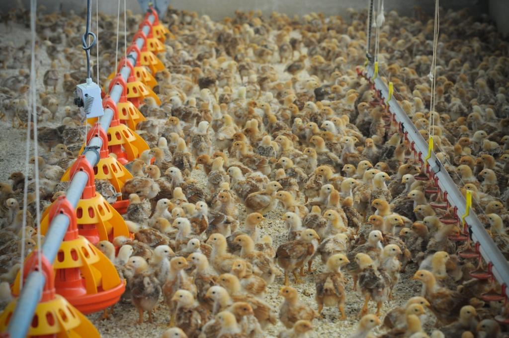 Organic, free-range, family run chicken farm. Photo by Jo-Anne McArthur   We Animals