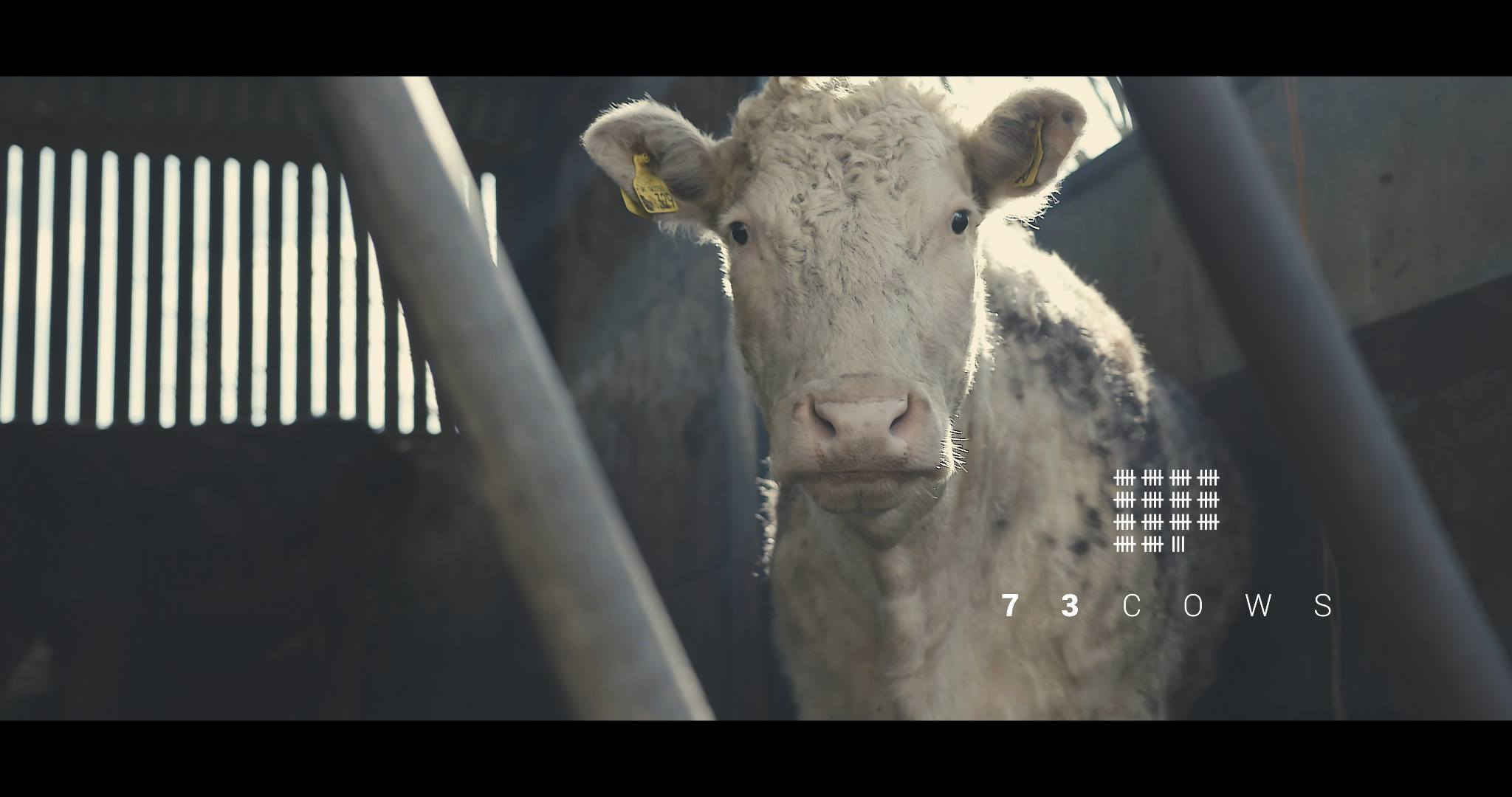 Alex Lockwood | 73 Cows