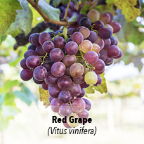 Red grape   (Vitis vinifera)