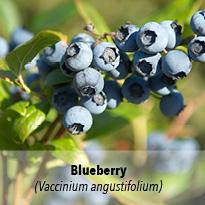 blueberry_antioxidants_anthocyanins_nutrient.jpg