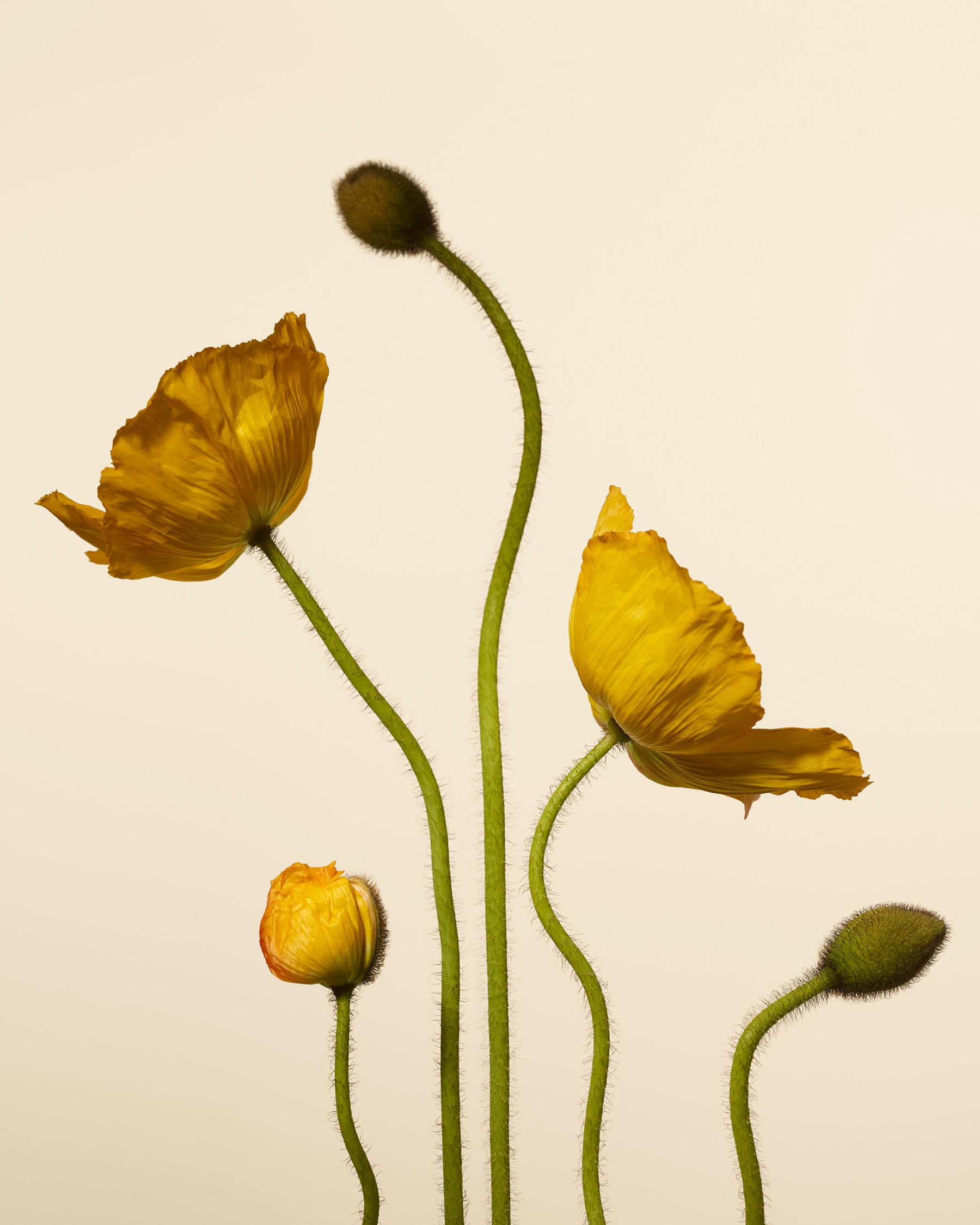 Poppies_4x5.jpg