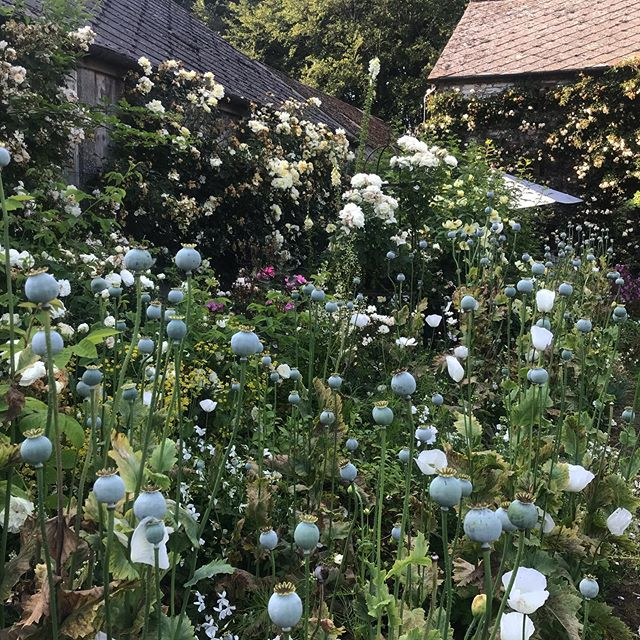 Evening sun in the Walled Garden. . . . . . #jacksonswoldgarden #ngs #walledgarden #garden #summer #countryside #countrylife #flowers #plants #green #white #petals #nature #englishgarden #yorkshire #naturephotography #sunshine #july #nofilter #plantlife #roses #whiteroses