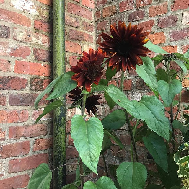 The plants are all feeling the heat this week 🌞🌞🌞 as are we!!! . . . . . . . #jacksonswoldgarden #sunflowers #summer #heatwave #plants #countrylife #farm #countryside #leaves #flowers #garden #englishgarden #brick #leafy #summer #sun #hot #nature #flower #yorkshire #thewolds