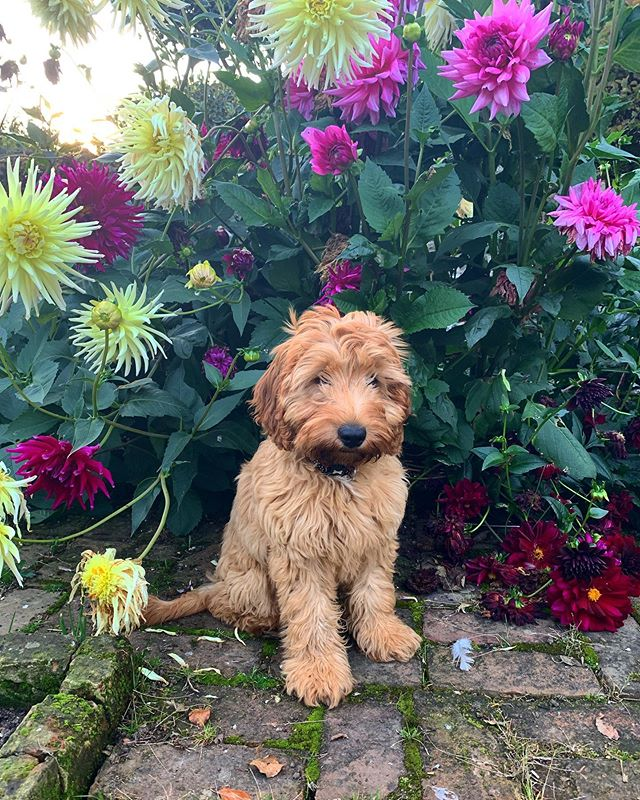 Last of the summer sun ft. Jackson's Wold Garden's newest under gardener. . . . . #jacksonswoldgarden #cockapoo #instagarden #summer #ngs #countrylife #puppy