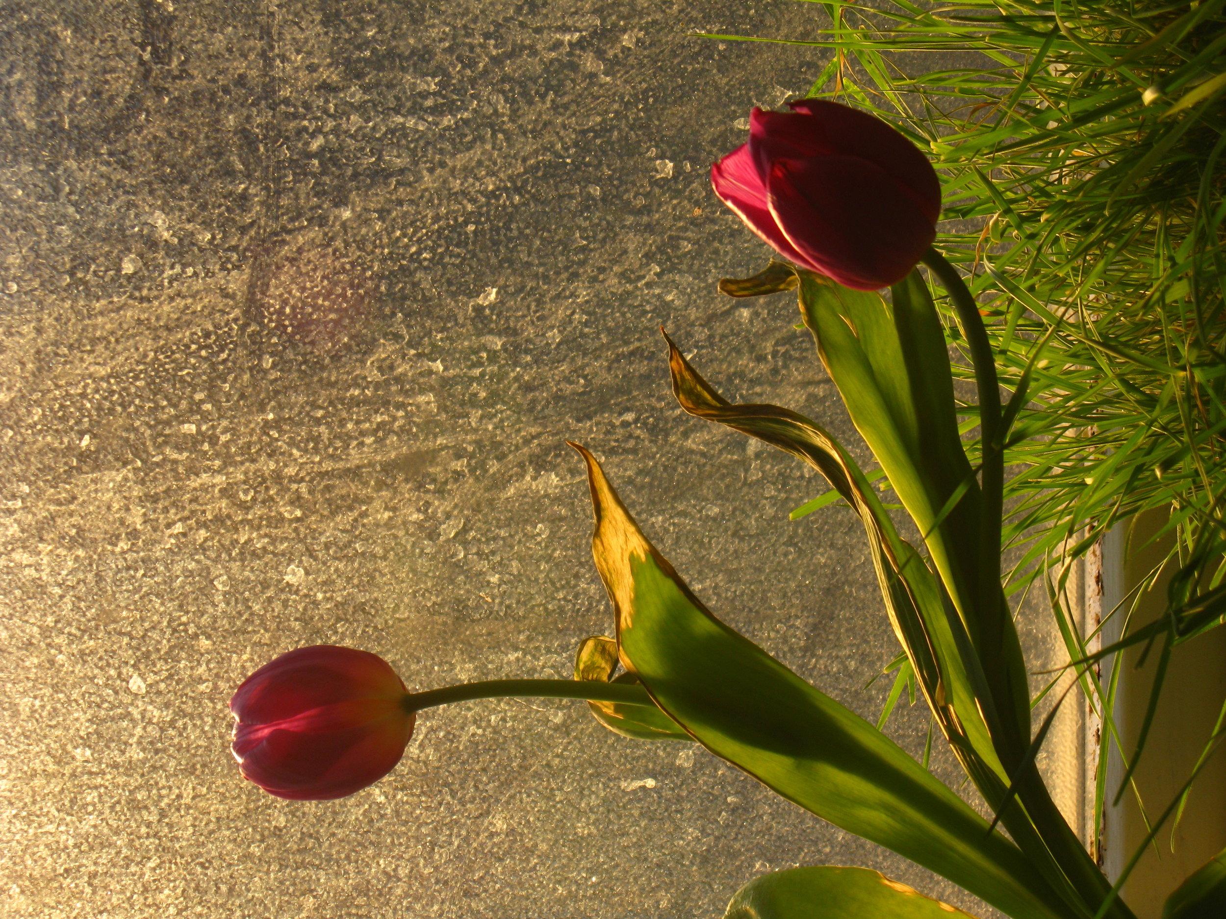 window tulips 005.JPG