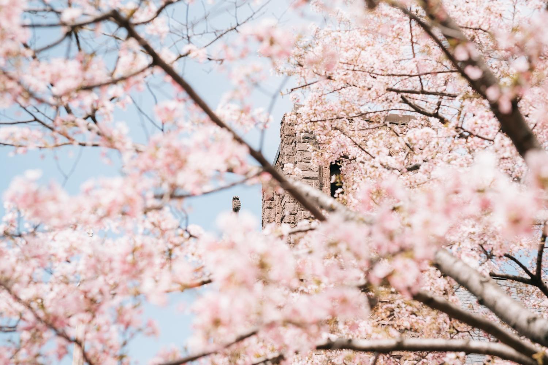 Cherry Blossoms DC Wedding