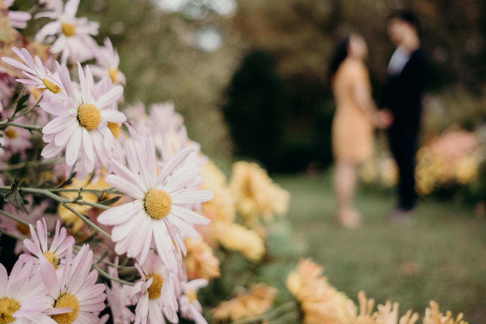 A daisy garden at Dumbarton Oaks.