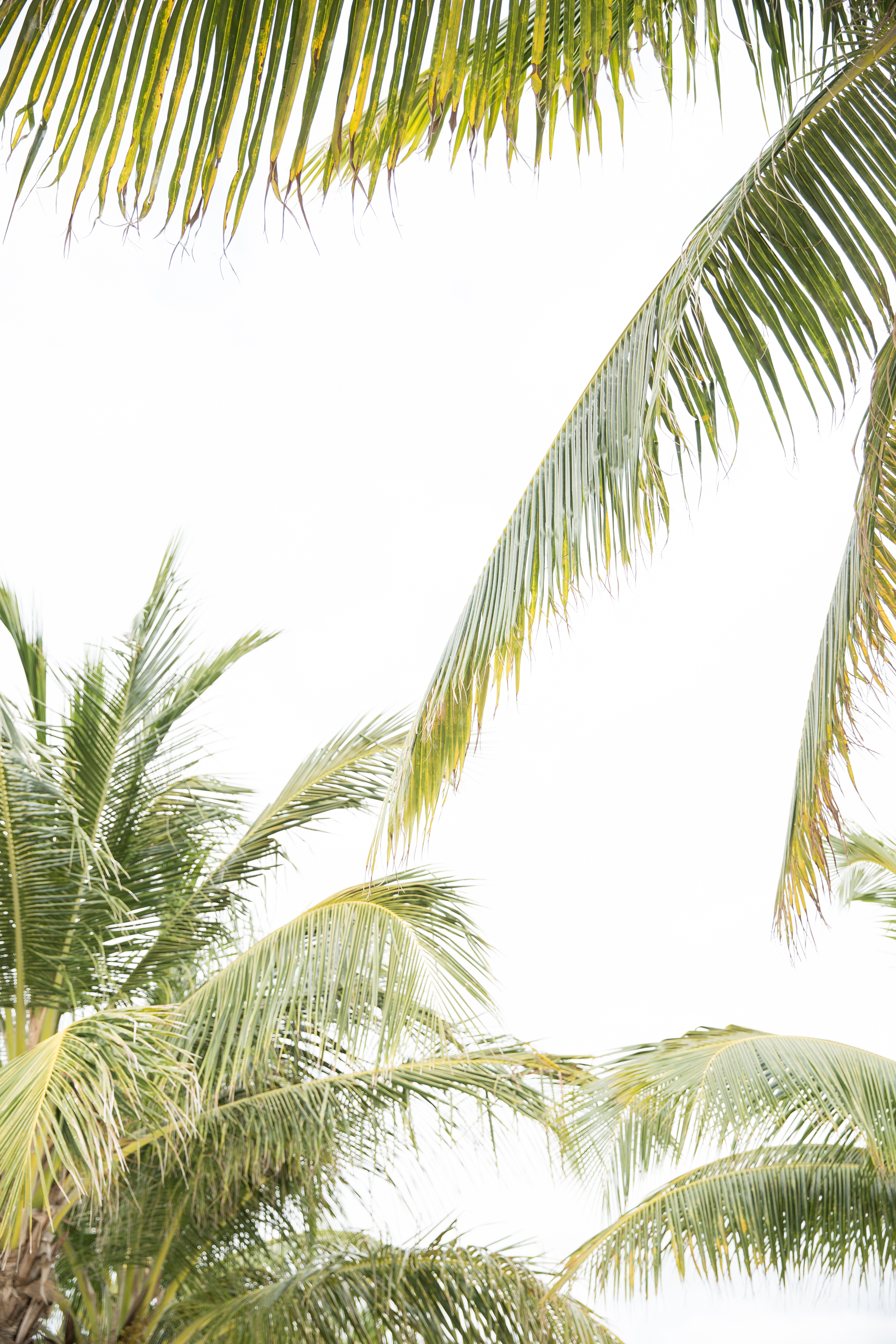 mexican palm trees