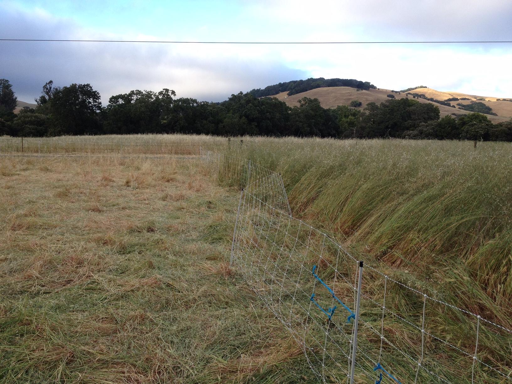 Tall_oats_sheep_mowed.JPG