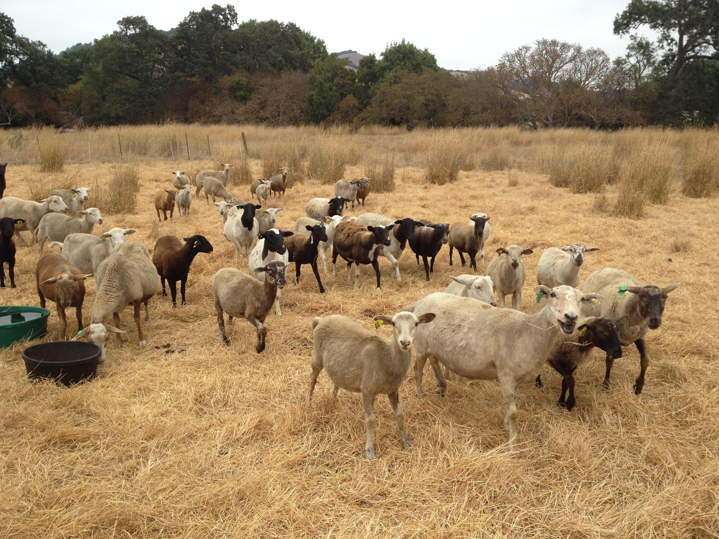 Sheep_dry_grass.JPG
