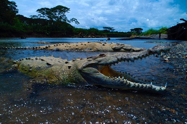 An American Crocodile suns itself on the banks of the Tarcoles river, Costa Rica.