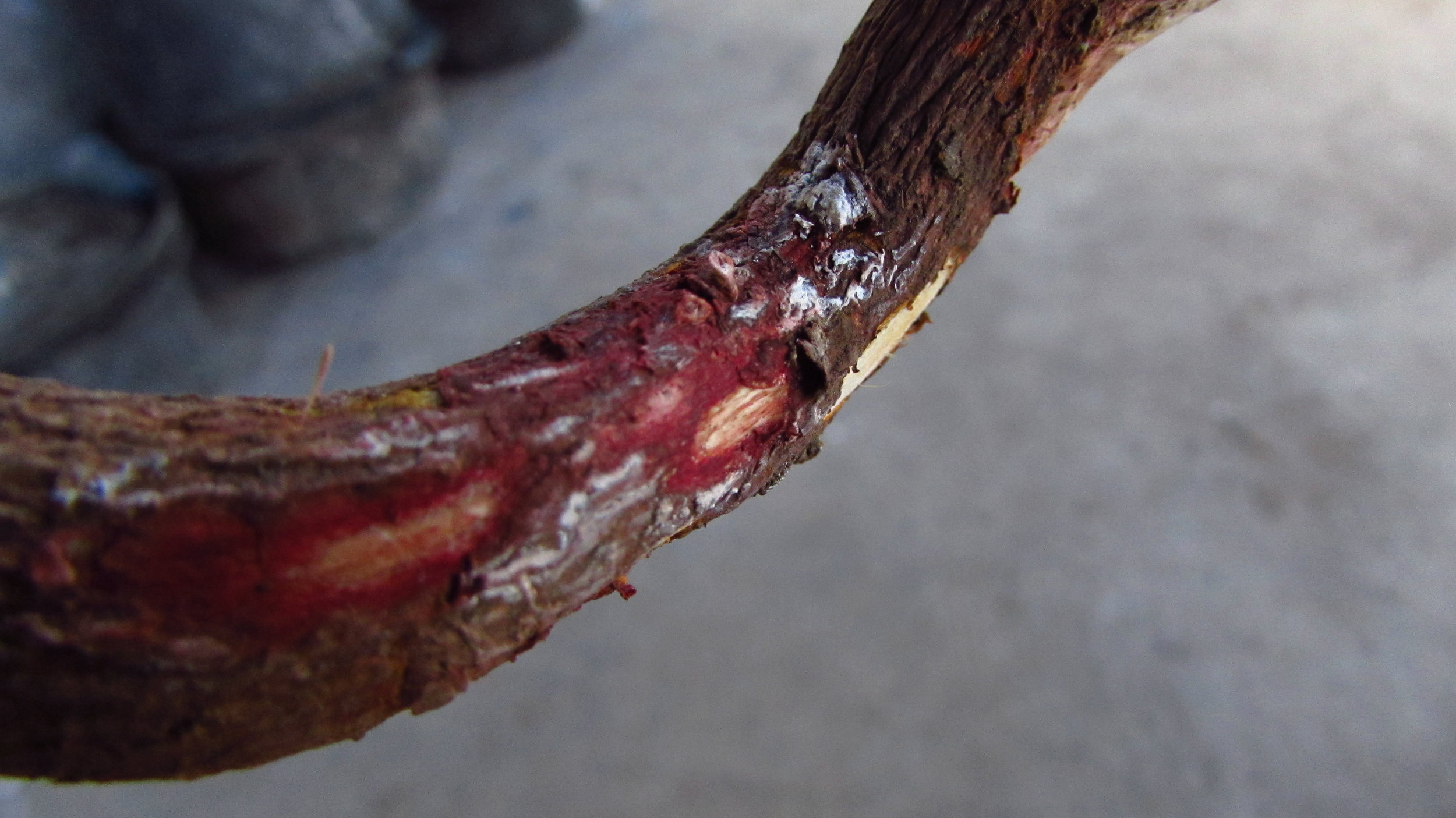 MADDER ROOT REACTING WITH LIMESTONE PASTE