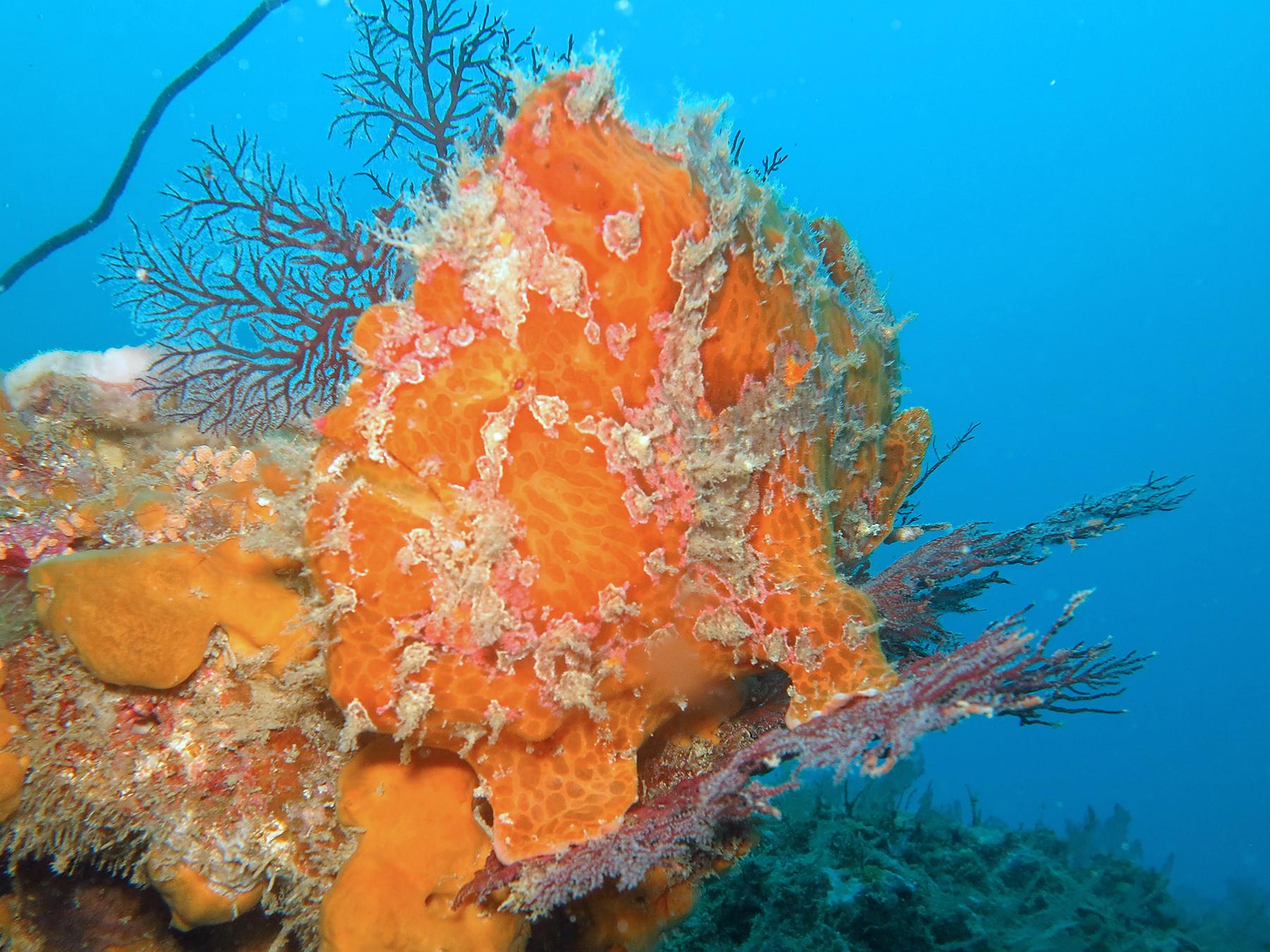 Frogfish orange