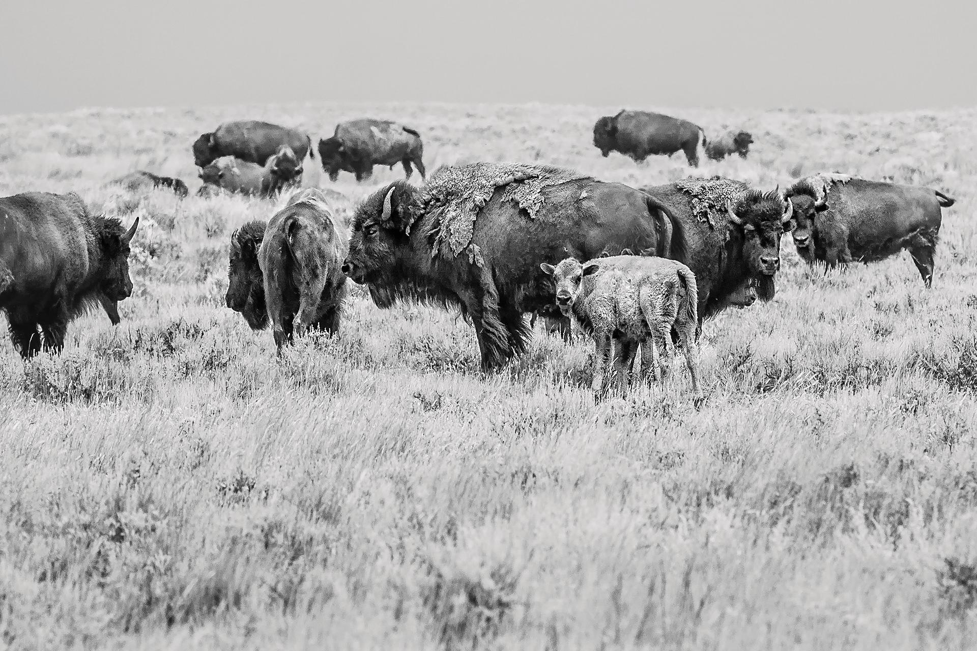 Herd, American Prairie Reserve, 2015