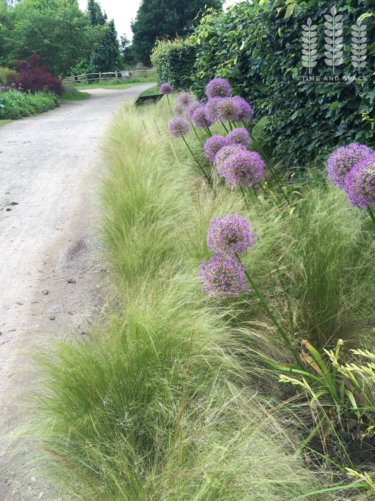Allium and Stipa tenuissima, at RHS Wisley