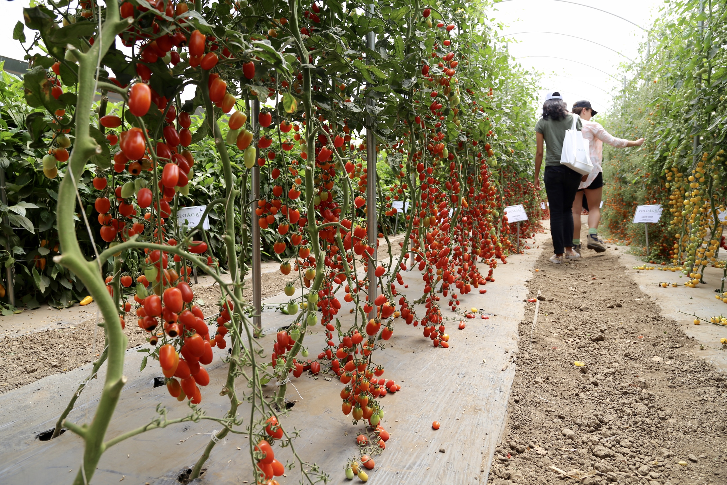 The team visits VoloAgri seed company field days, in the tomato hoop house
