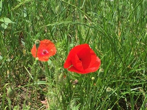 May 24 19 Poppy #1.jpg