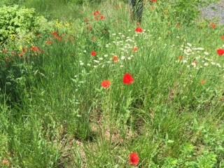 Poppies right in the heart of Poznan, on the way to rehearsal at the Music Academy.