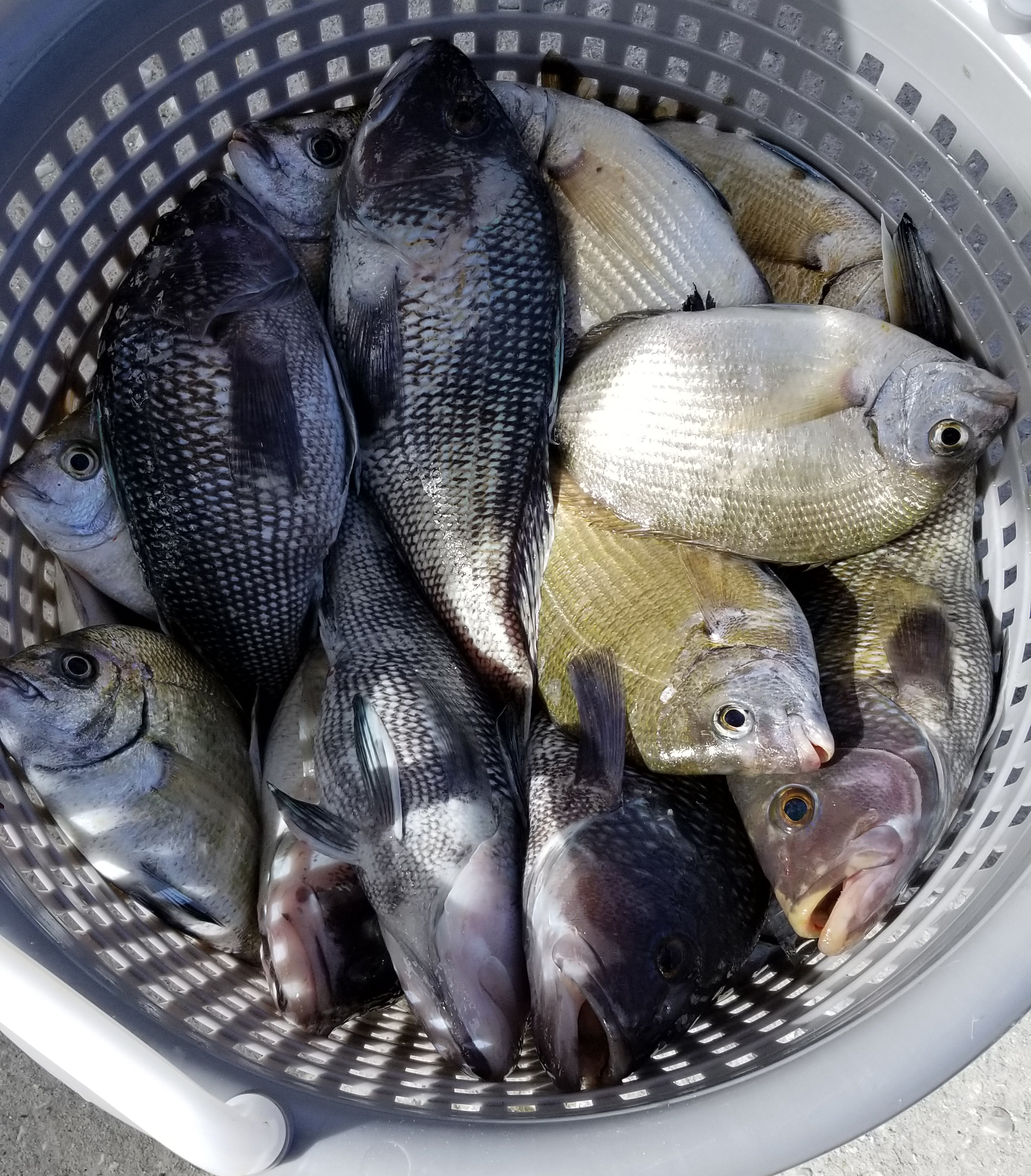 Jacksonville Black Seabass and other offshore fish