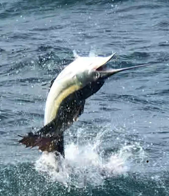 sailfish jumping out of the water in Jacksonville