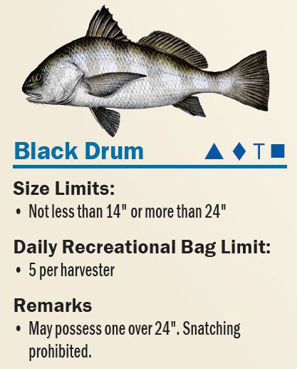 black drum from fwc