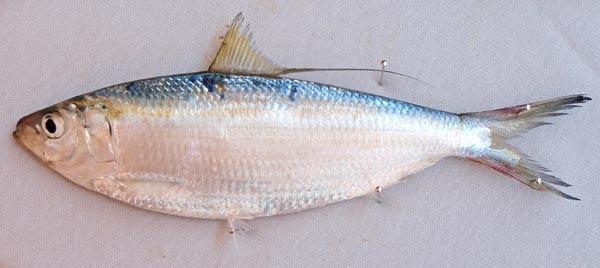 greenies - live fishing bait