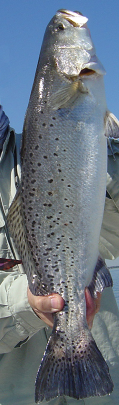 large spotted seatrout in Jacksonville