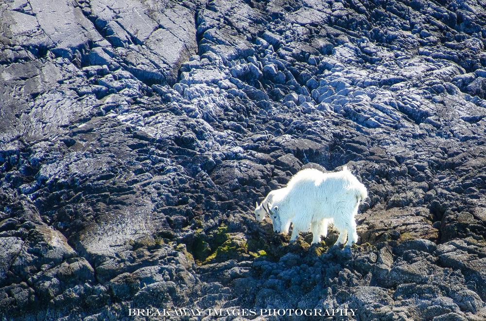 Mountain goats - WAY up there! Inside Passage, Alaska