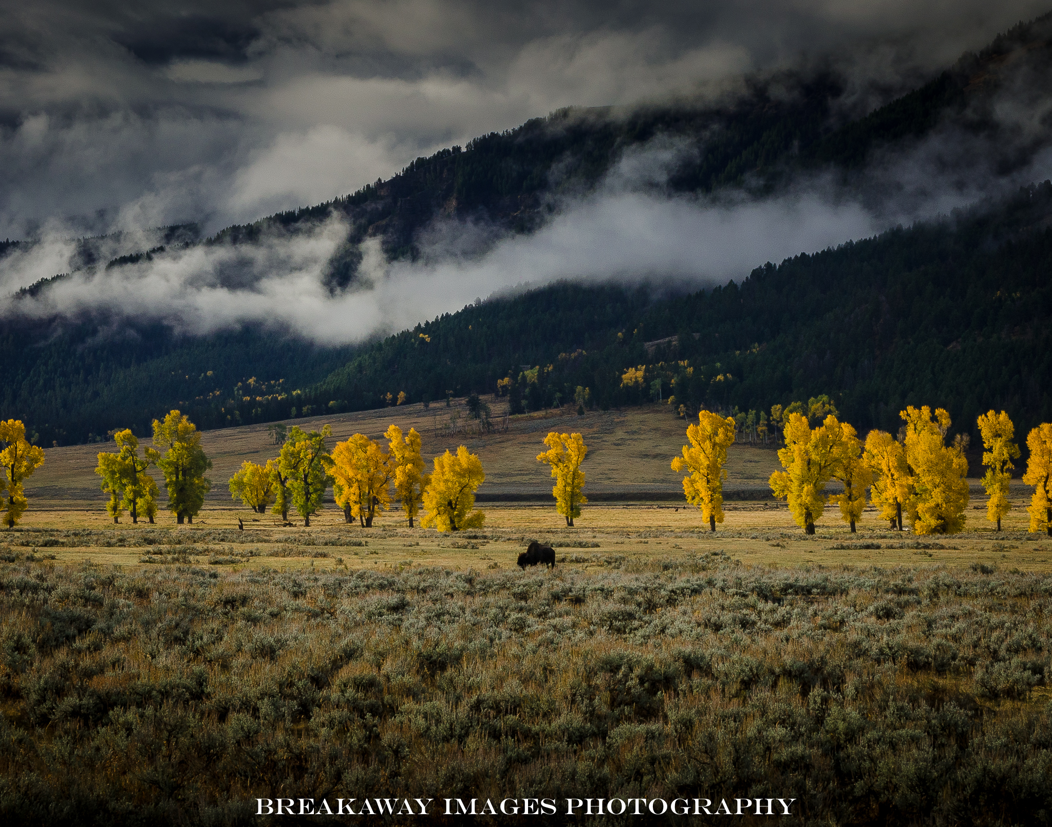 Buffalo in Lamar Valley, Yellowstone National Park.