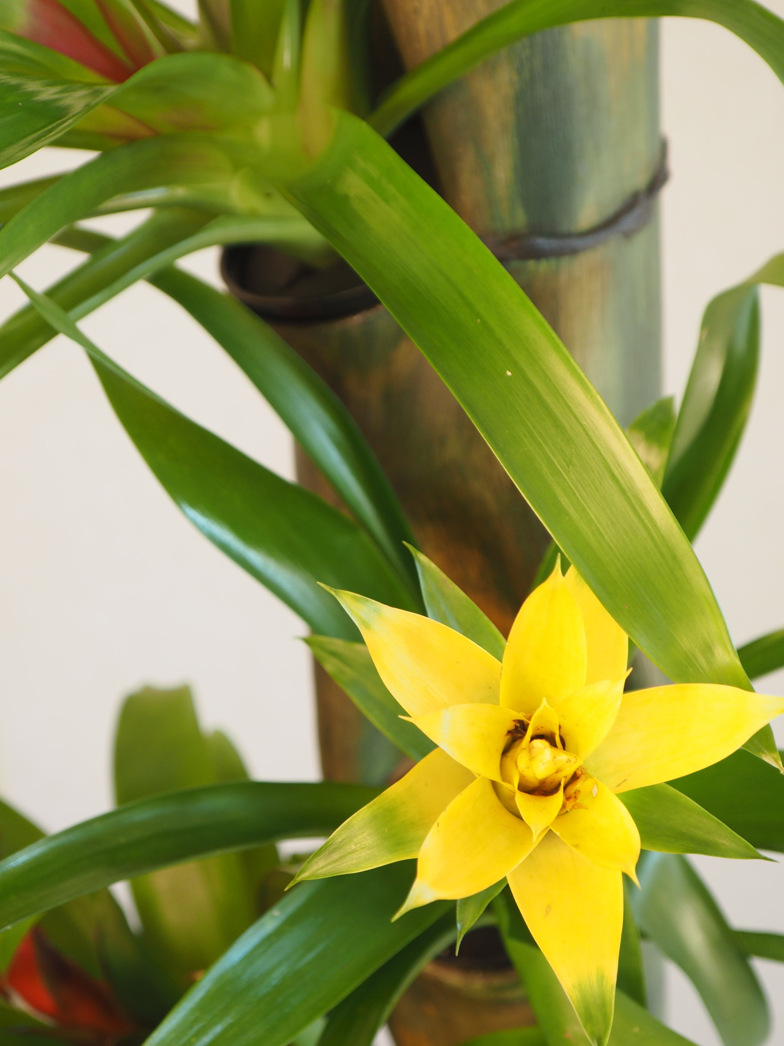 YellowBrommeliadonBamboo.JPG