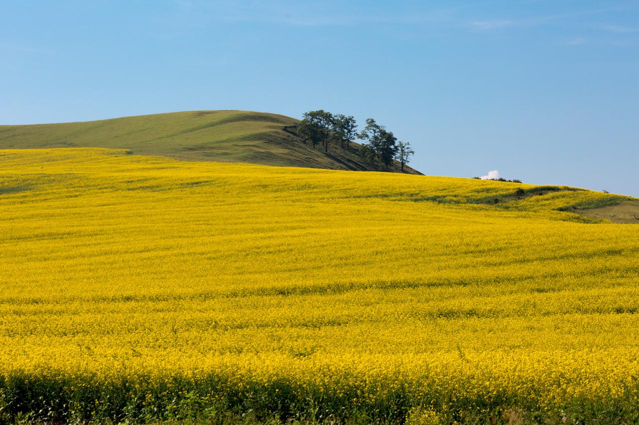 Canola fields in Alba