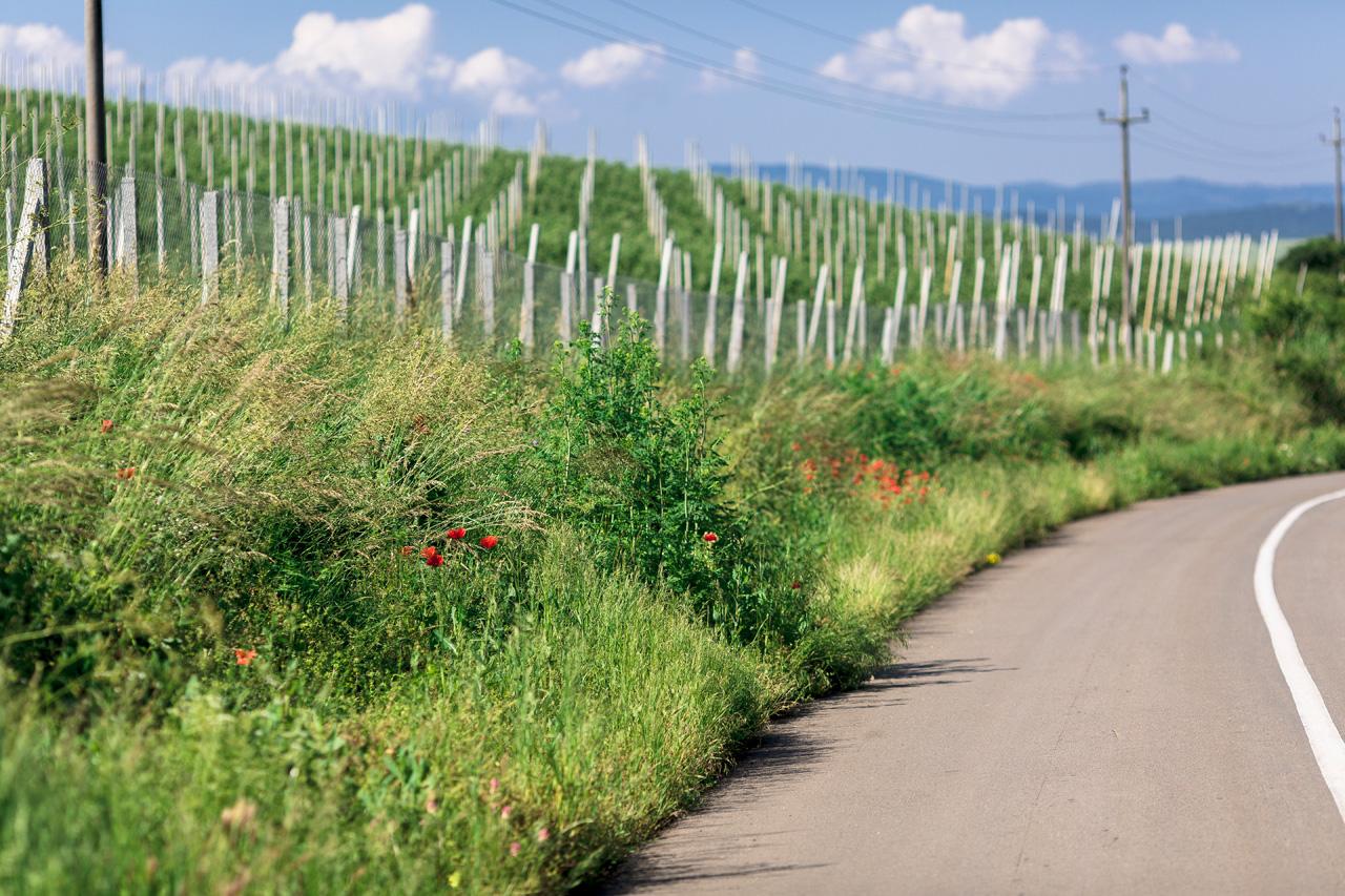 Vineyards in Alba Iulia