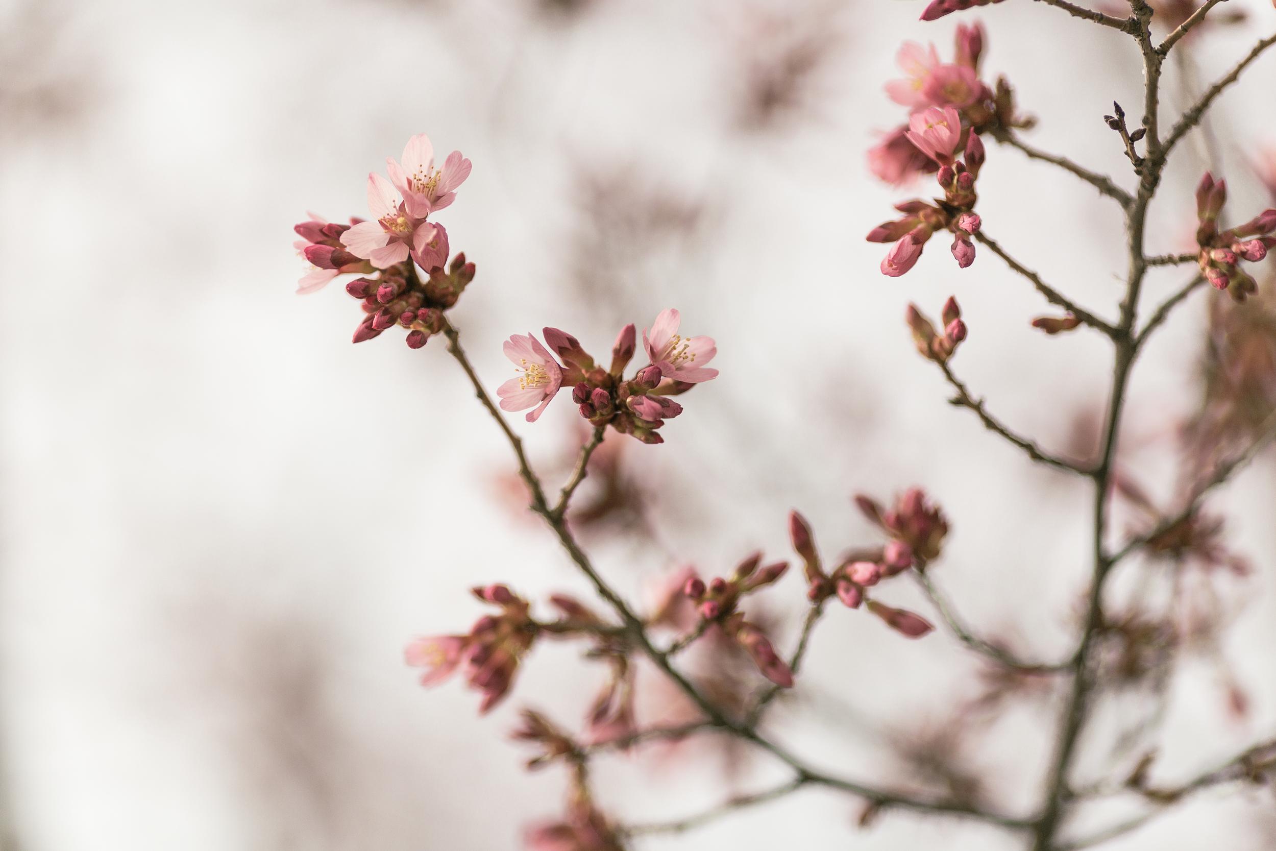 Blossoms in Ann Arbor