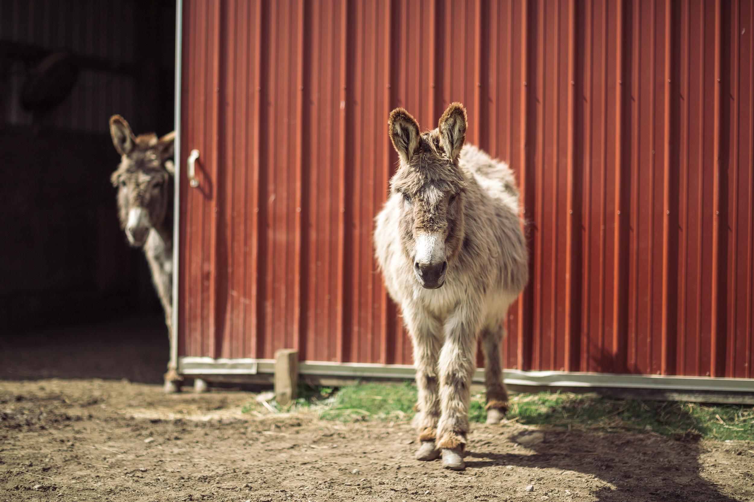 The Shy Mule