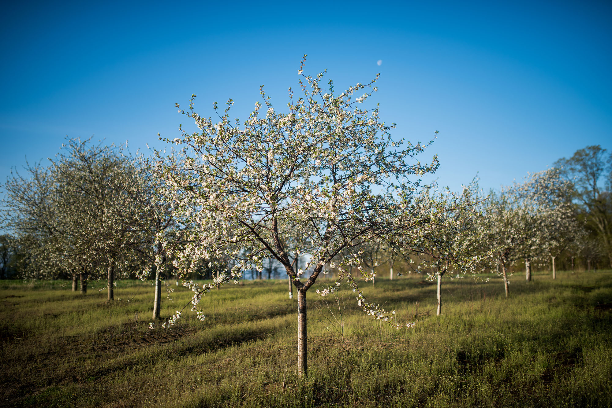apple trees spring.jpg