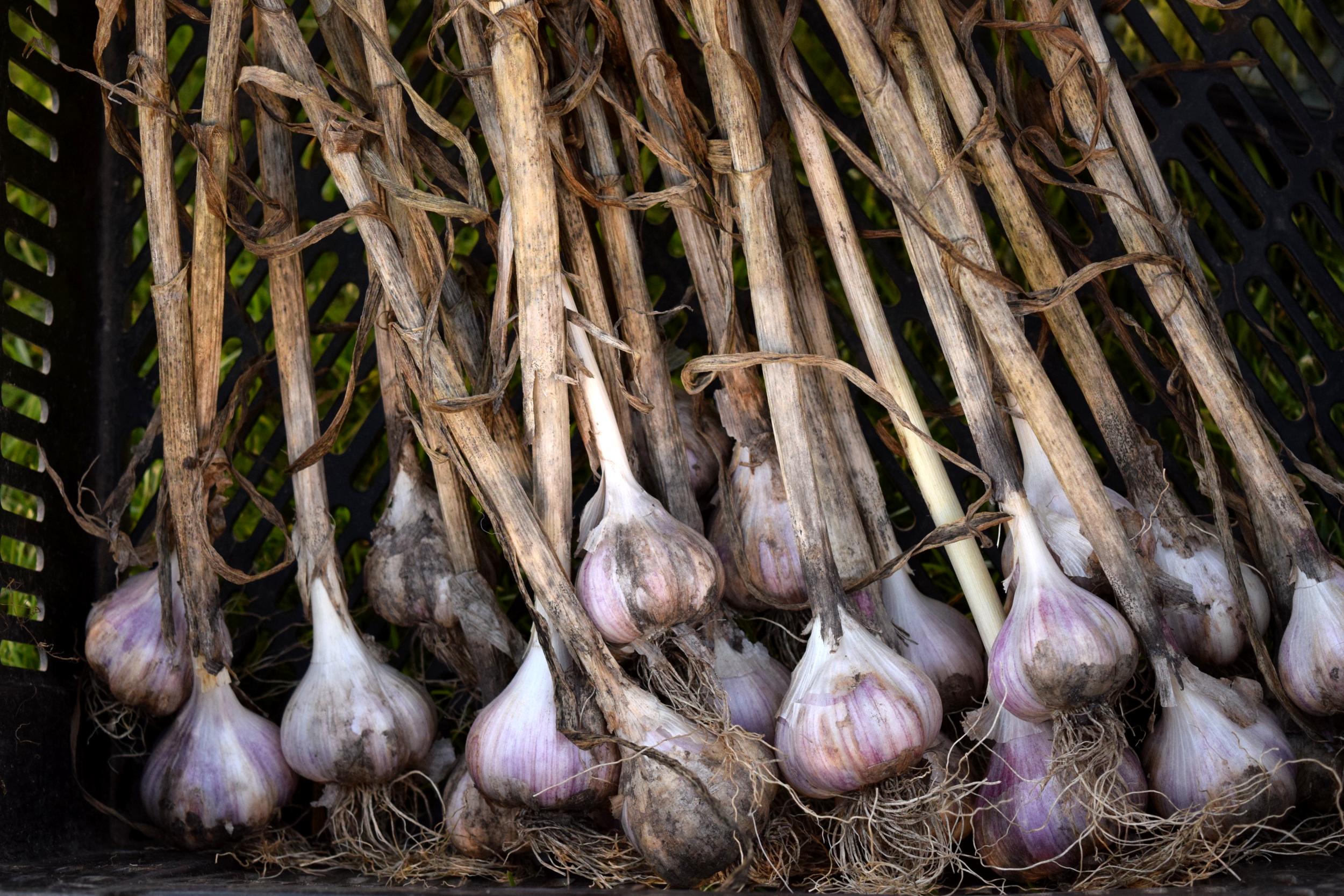 mud lake garlic.png
