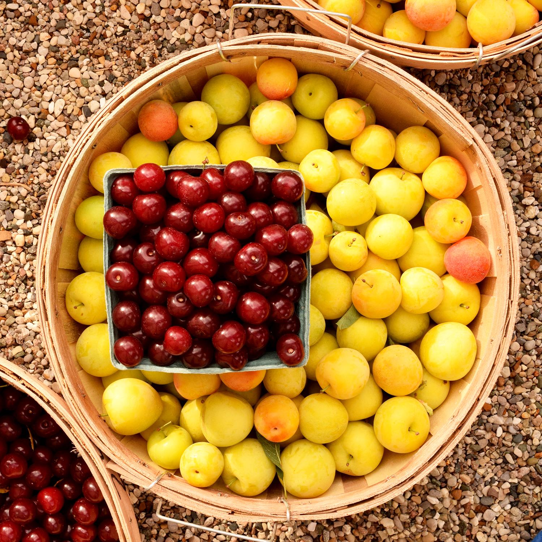 hunsberger cherries and apples.jpg