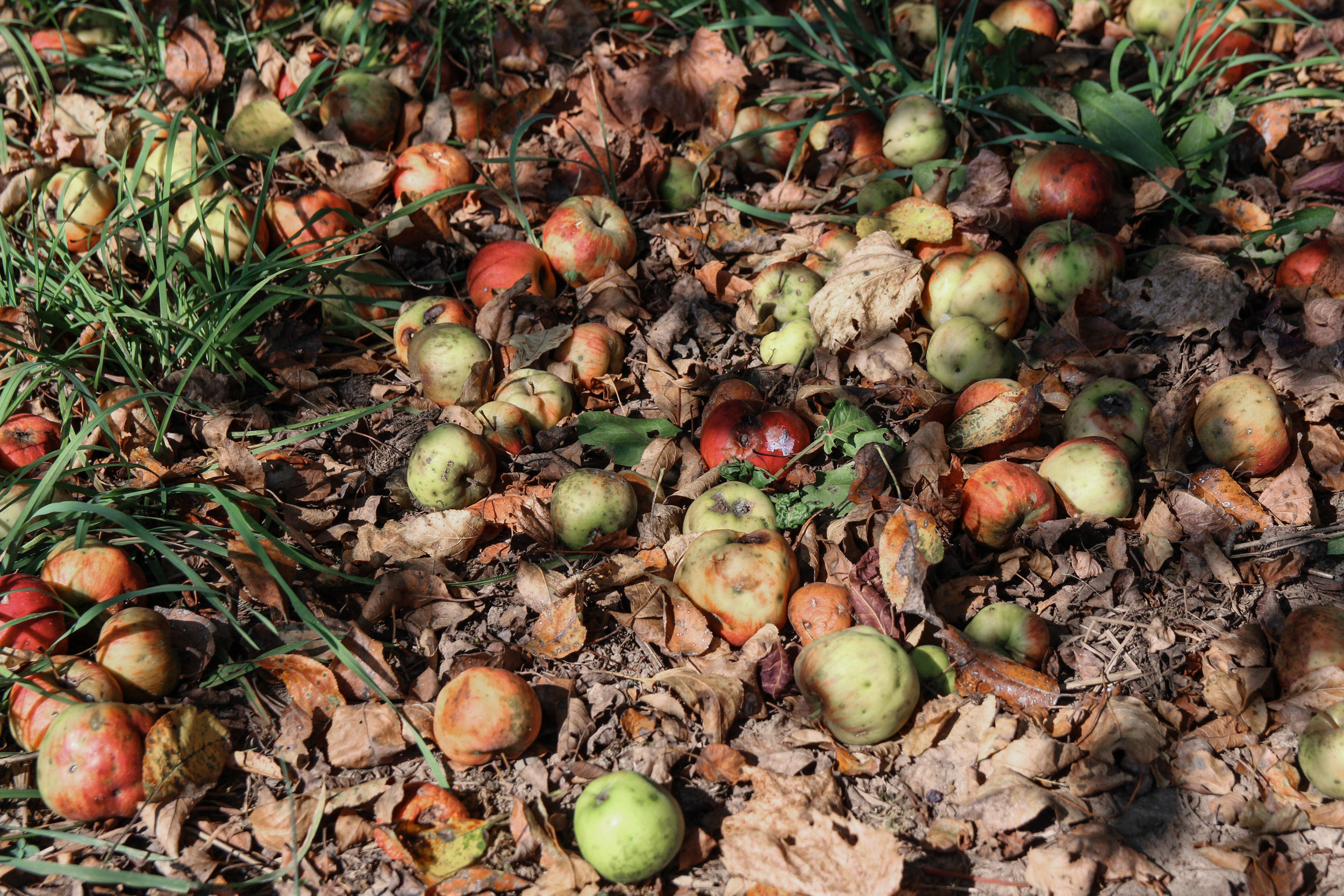 farm apples-7.jpg