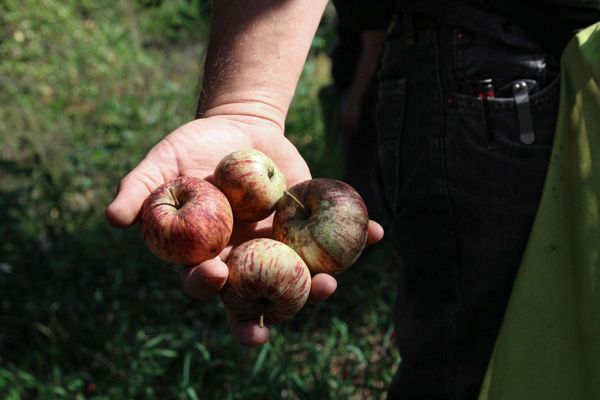 farm apples-3.jpg