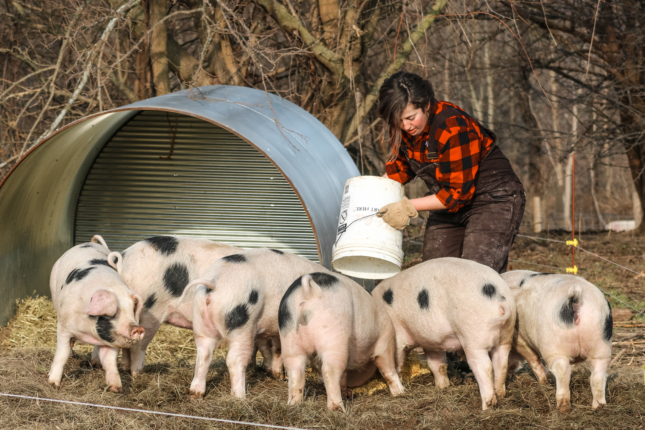 feeding pigs.jpg
