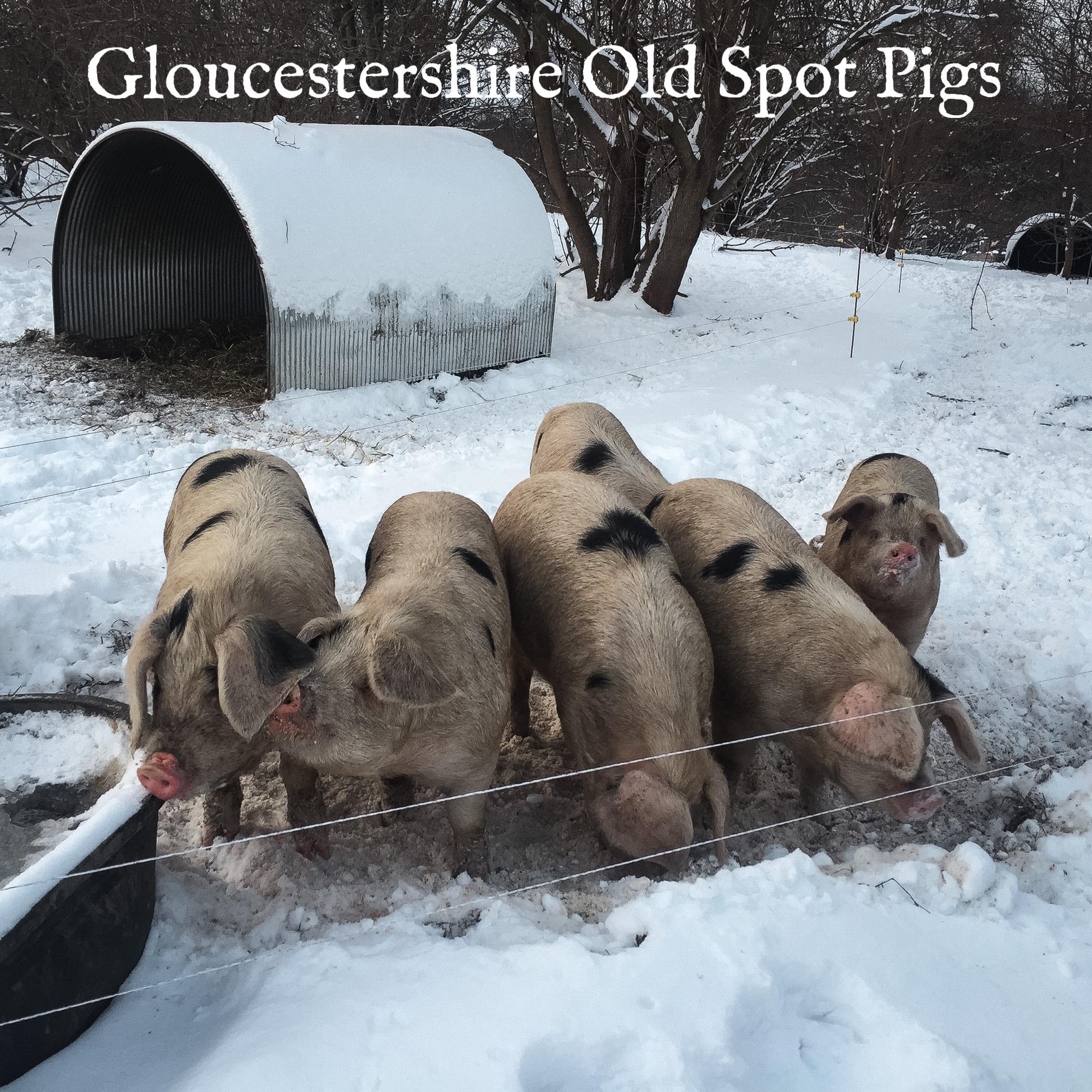 winter pigs social.jpg